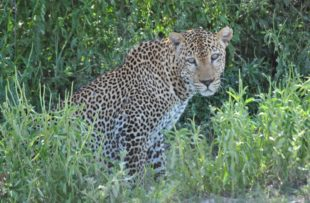 Leopard in the Selous