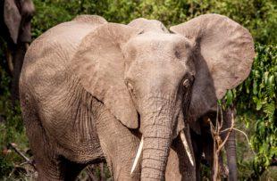 Manyara elephant